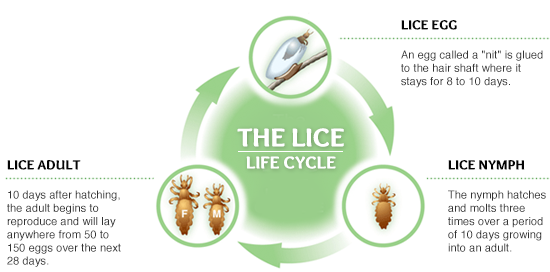 The Lice Cycle